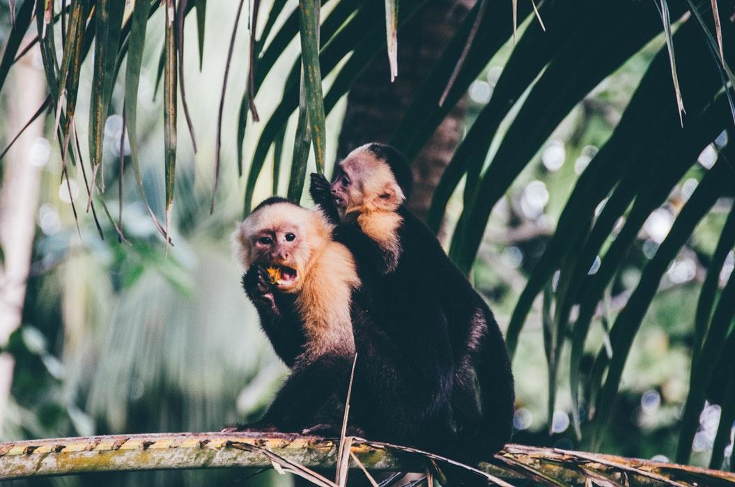 Monkeys at a zoo.