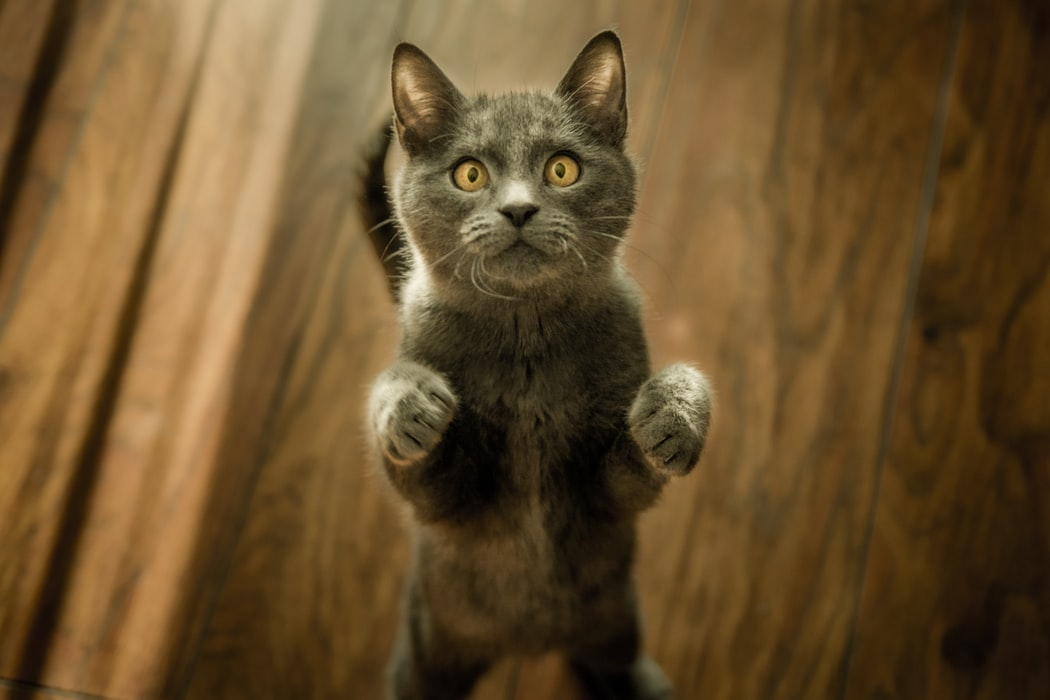 A cat standing on two legs.