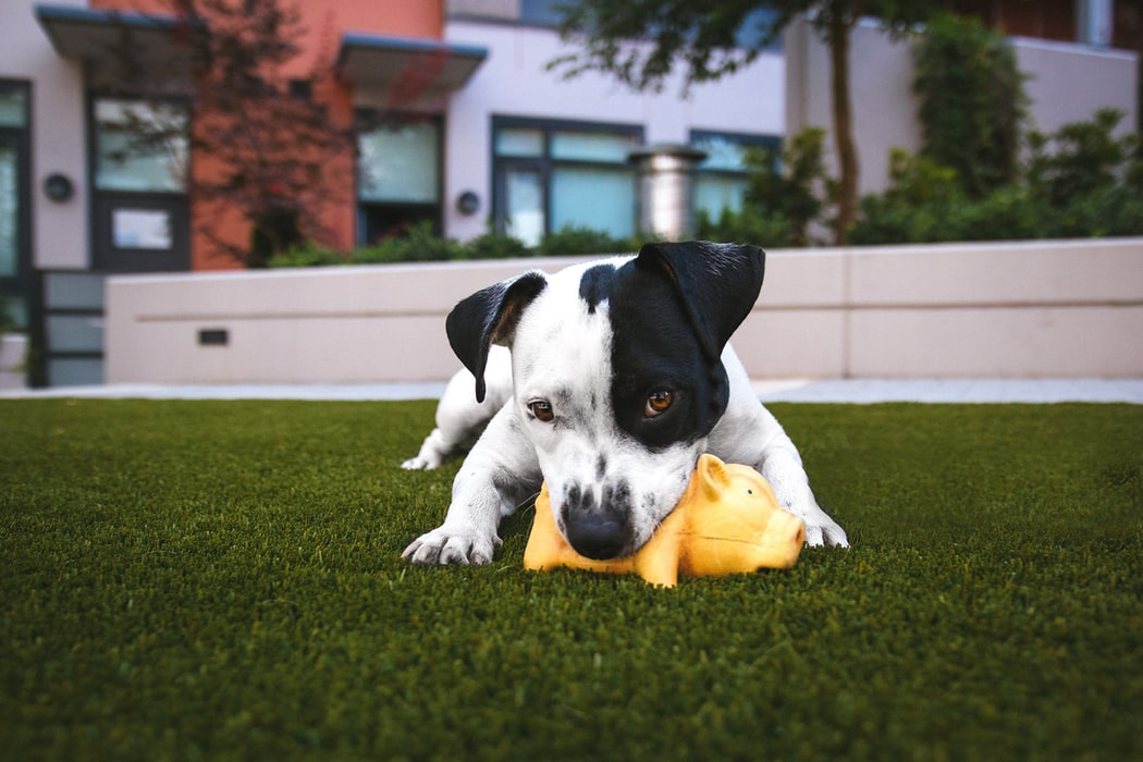 A dog playing with a toy.