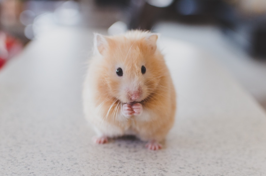 Consider hamsters when buying with pets